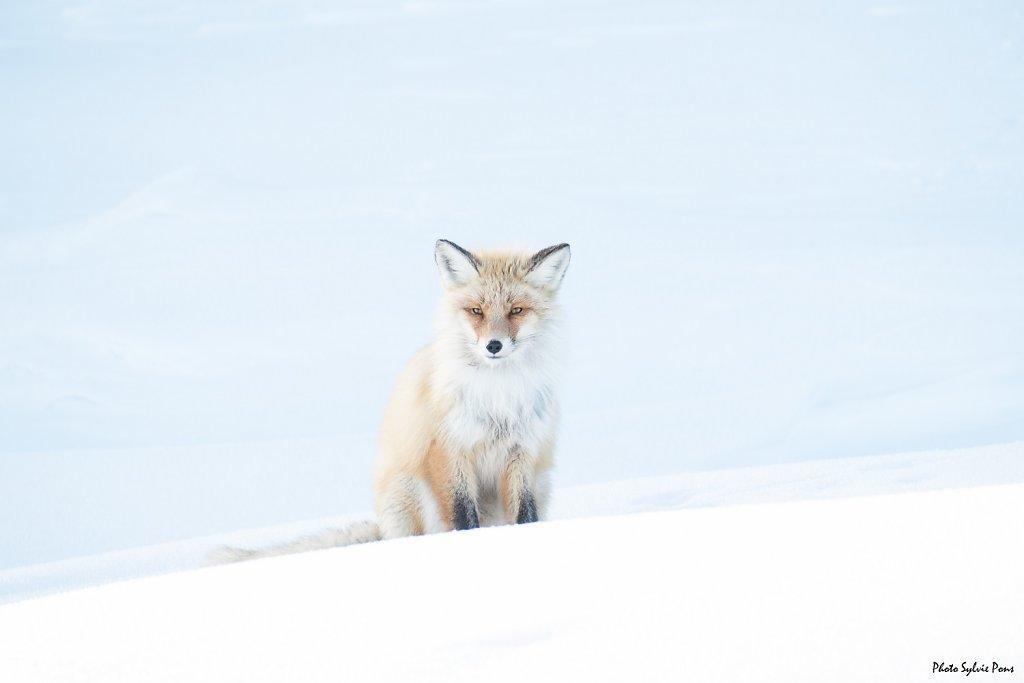 Baïkal le renard et les corbeaux