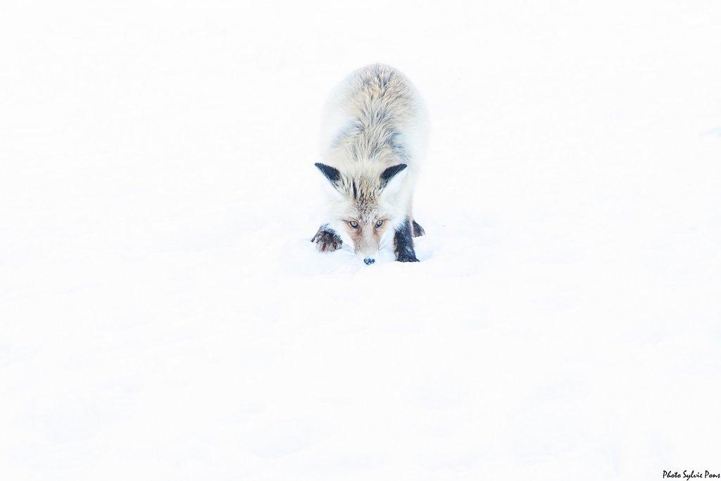 Baikal-2019-Le-renard-et-les-corbeaux-SPons-4.jpg