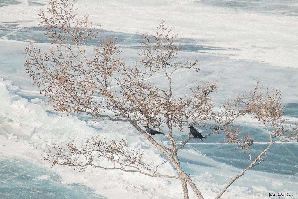 Baikal-2019-Le-renard-et-les-corbeaux-SPons-8.jpg